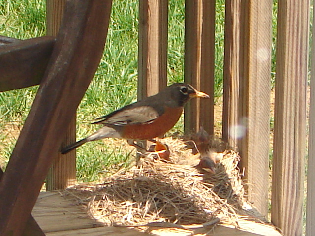 Signs of Spring - Robin 2