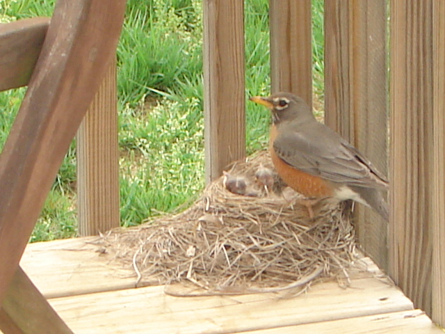 Signs of Spring - Robins 4
