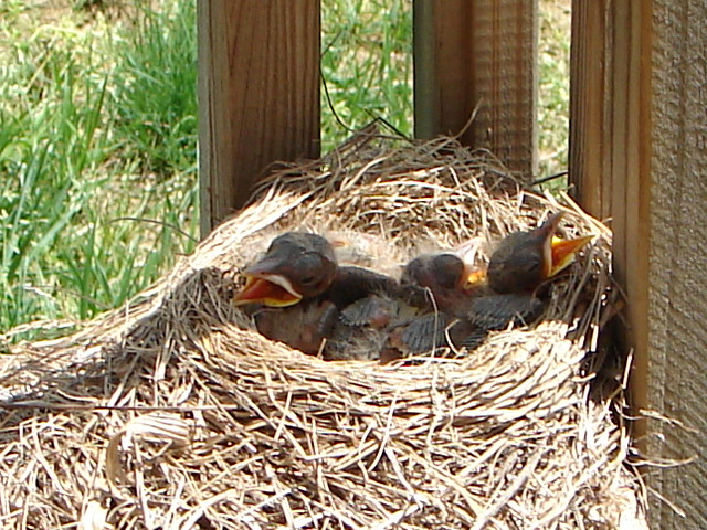 Signs of Spring - Robins 5